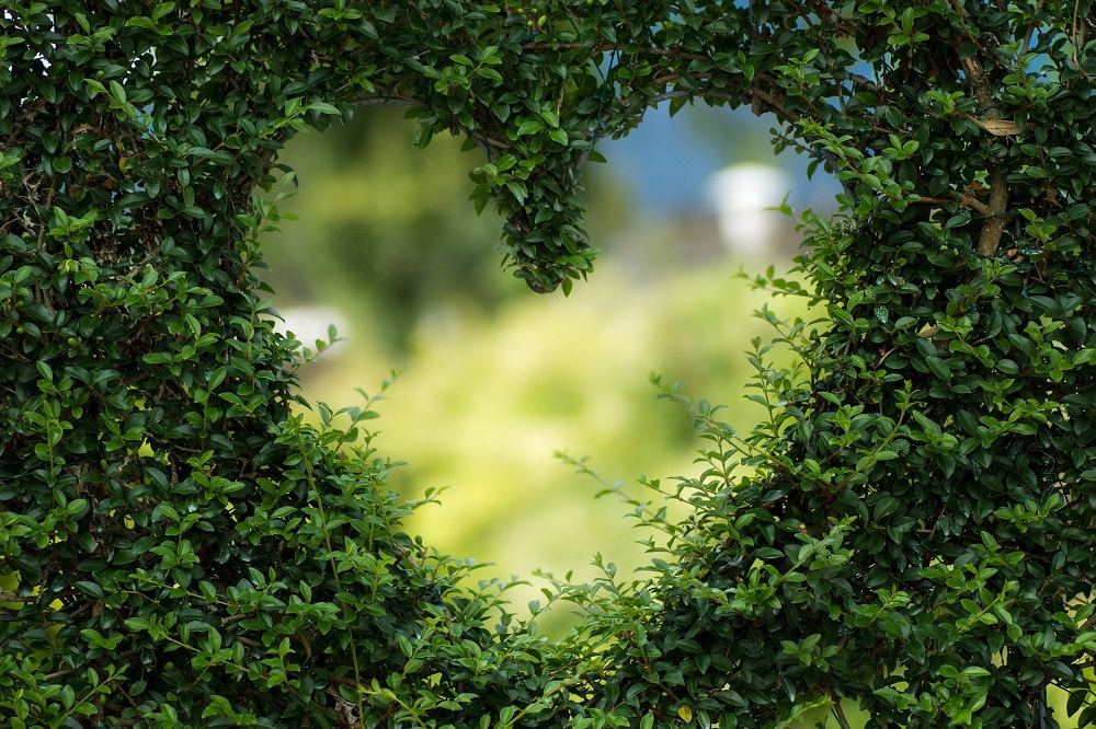 Maintaining your trees health blog image of a heart cut in a hedge_chelmsford tree surgeon